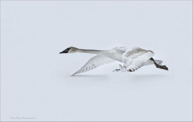 Trumpeter-Swan-flight
