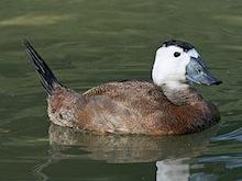 White-headed Duck (Oxyura leucocephala) by Dick Daniels,  Wikimedia Commons.