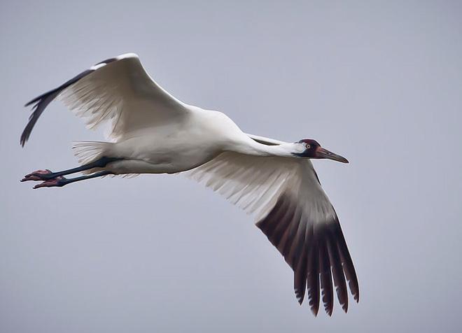 Whooping_Crane_in_flight_in_Texas
