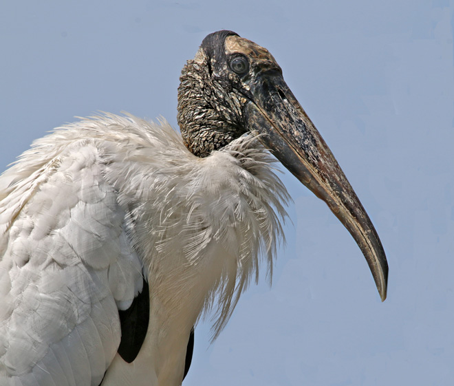 Wood-stork-pow