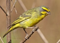 Yellow-fronted-Canary_5422