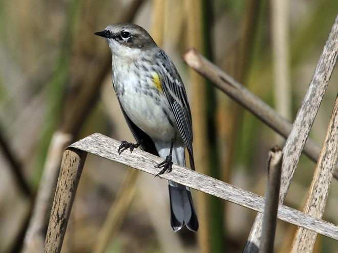 Yellow-rumped-Myrtles-Warbler