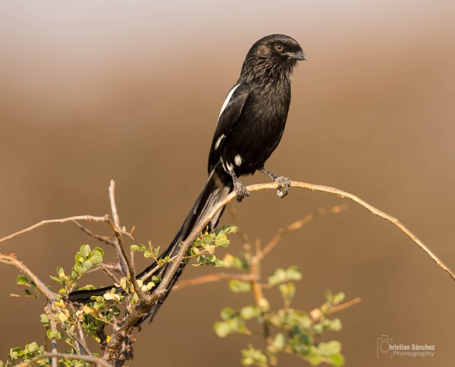 african-longtailed-dshrike