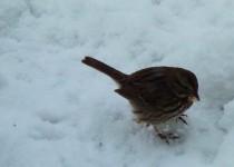 fmitchell_foxsparrow215feb14va