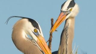 heron-nesting-wilson