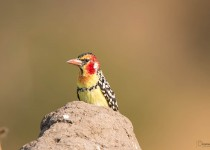 red-and-yellow-barbet