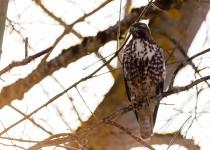 redtailed-hawk-oregon-2013