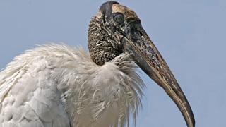 wood-stork-pow-thumbnail
