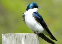 1-tree-swallow
