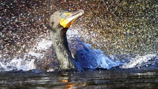 1120-Splashy-BirdWatchingDaily