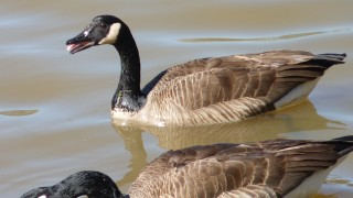 2-canada-geese