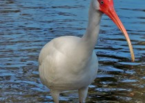 5850-Ibis-at-Club-at-Vero