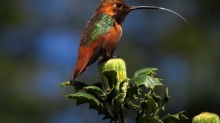 Allens-Hummingbird-Tony-Britton-2014