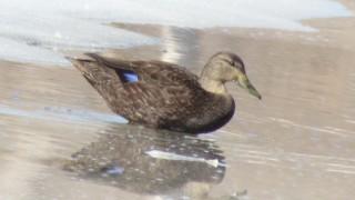 American-Black-Duck