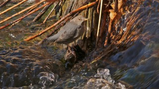 American-Dipper-Picture-Canyon-11-6-12-62-200PI