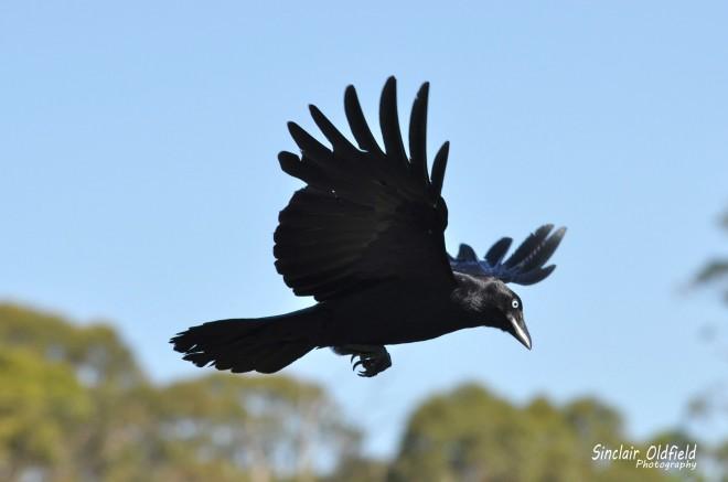 Australian-Black-Raven-copy