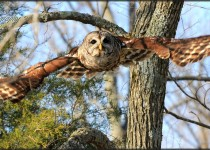 Barred-Owl-soaring-IMG_2878