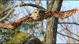 Barred-Owl-soaring-IMG_2878