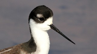 Black-Necked-Stilt-Gilbert-Ponds-12-26-11-9-200PI