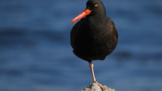 Black-Oystercatcher-2014-tony-britton