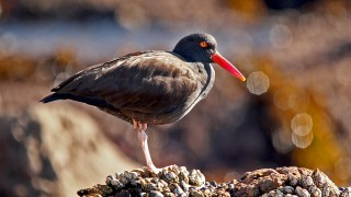 Black-Oystercatcher-Royal-Palms-12-13-13-2-200PI