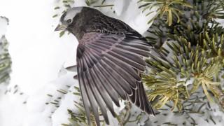Black-Rosy-Finch-Sandia-Crest-3-12-10-68-200PI