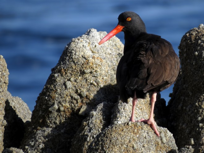 Black-oystercatcher-tony-britton-2014