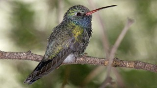 Broadbilled-Hummingbird-Boyce-Thompson-10-30-10-7-200PI
