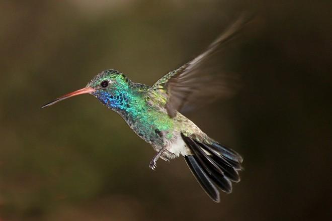 Broadbilled-Hummingbird-Boyce-Thompson-8-5-11-14-200PI