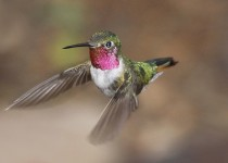 Broadtailed-Hummingbird-Yard-7-27-09-1-200PI