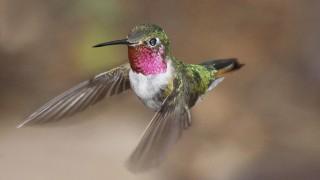 Broadtailed-Hummingbird-Yard-7-27-09-1-200PI