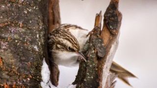 Brown-Creeper-2_name