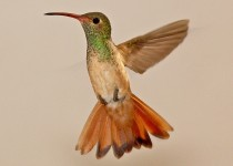 Buff-Bellied-Hummingbird-Sabal-Palm-5-2-12-1-200PI