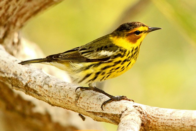 Cape-May-Warbler-Convention-Center-5-2-12-8-200PI