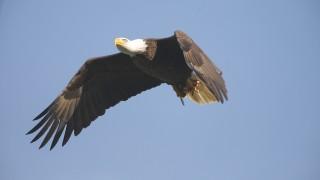 Conowingo-Eagle-3467