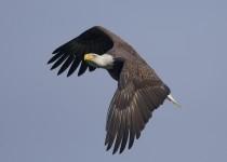 Conowingo-Eagle-3468