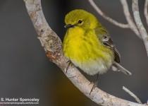 DSC0003-Pine-Warbler