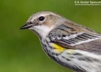 DSC0035-Yellow-rumped-Warbler