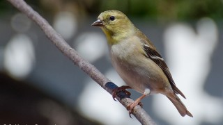 DSC0068-American-Goldfinch