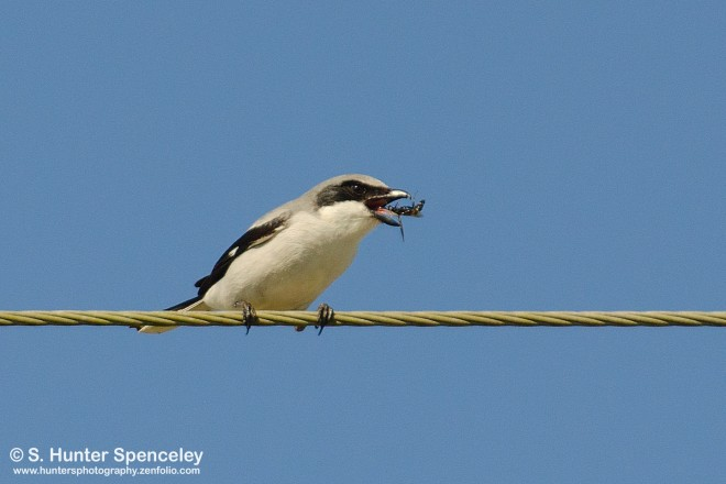 DSC0138-Loggerhead-Shrike
