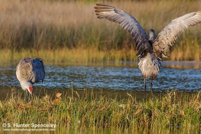 DSC0147-Sandhill-Cranes