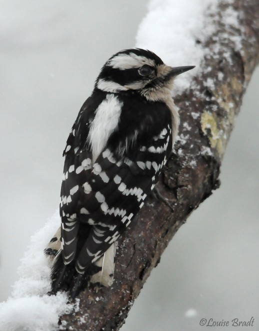 Downy-Woodpecker-Female-March-16th-2014