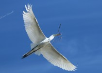 Egret-Twig1