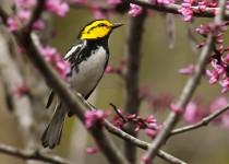 Golden-cheeked Warbler by Lora Render
