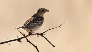 Grasshopper-Sparrow-9202y-2-18-13-1-200PI