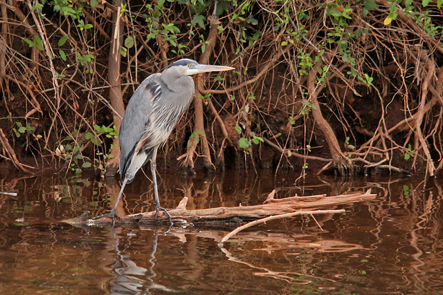 Great-Blue-Heron-Page-Springs-3-22-14-1-100PI