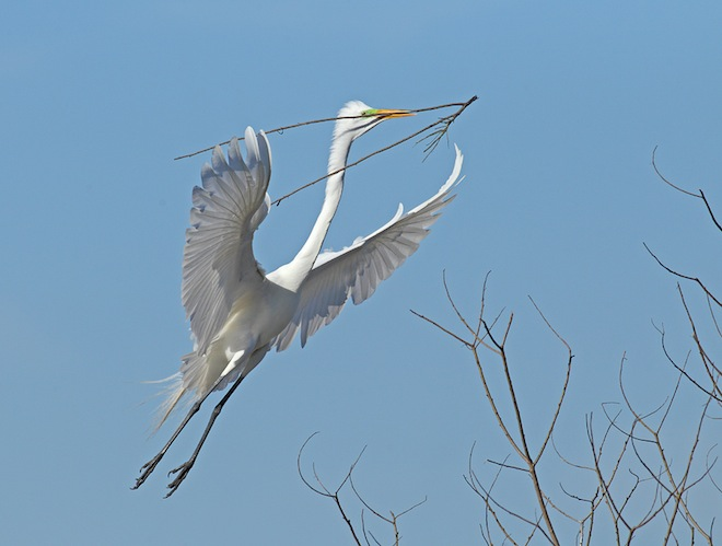 Great Egret with nesting material, High Island, Texas. Photo by John Phillips Jr.