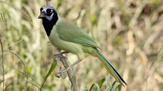 Green-Jay-Bentson-Rio-Grande-4-30-12-2-200PI