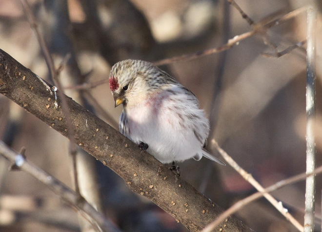 This Hoary Redpoll visited Laura Erickson's yard in January 2013 but didn't eat the Nyjer seed she provided. Photo by Laura Erickson.