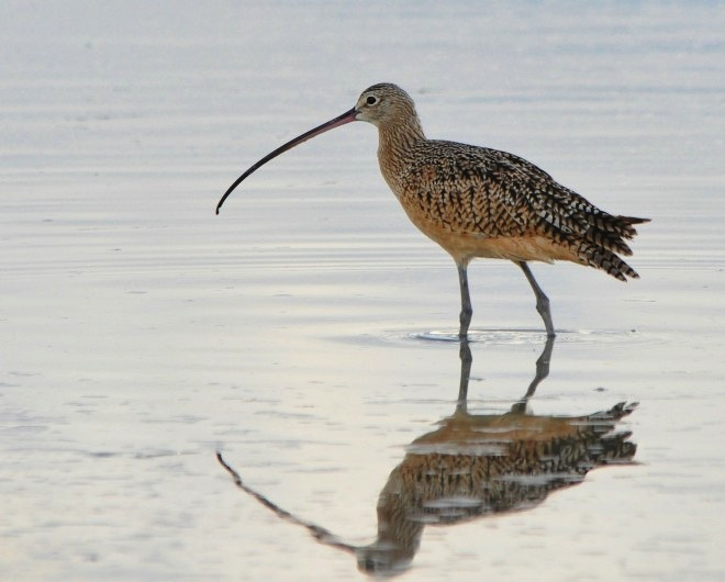 Long-billed Curlew at Fort De Soto County Park, Tierra Verde, Florida, by geopix.